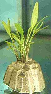 3 plants with stones planted with Cryptocoryne