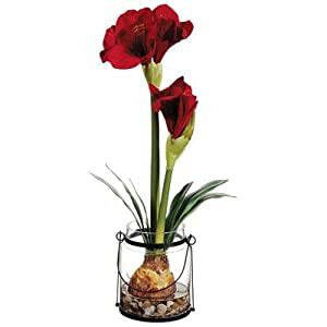 24 amaryllis with bulb in glass vase for Vase amaryllis