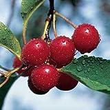 1 x Cherry Tree (Stella) 150-175cm bareroot (a399)