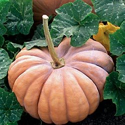 Buy Pumpkin Rumbo Hybrid – Park Seed Pumpkin Seeds
