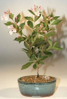 Buy Japanese Flowering Quince Bonsai Tree.(chaenomles 'toyo-nishiki')