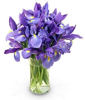 Stunning Blue Iris