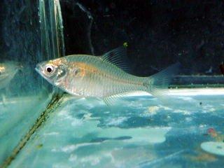 川魚 タイリクバラタナゴ サイズ2cm前後 淡水魚【こだわりの生体をお届けします 名生園】