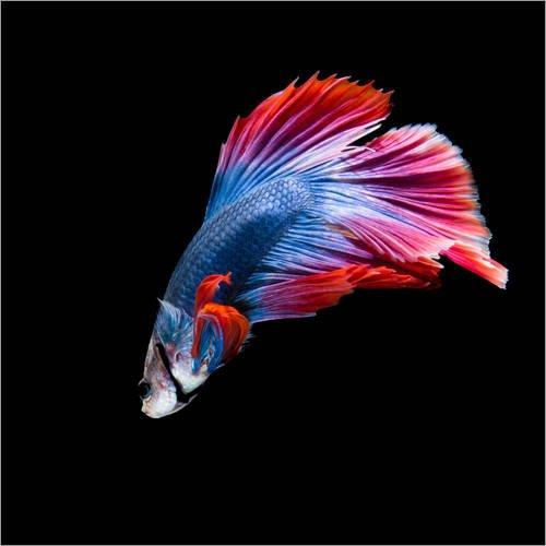 Leinwandbild 100 x 100 cm rot blauer kampffisch von for Kampffische arten