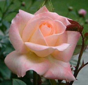 Diana Princess Of Wales Rose Bush Flower