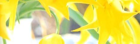 チューリップ (永順 花のポートレート)