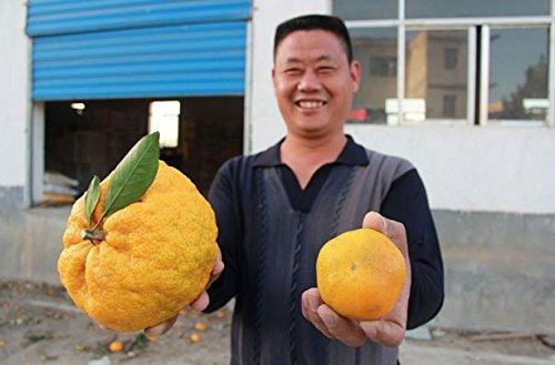 20pcs-bag-balcone-patio-vaso-di-frutta-alberi-semi-piantati-kumquat-semi-arancione-semi-mandarino-ag