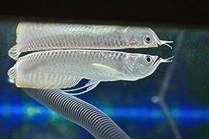 6-7 Inch Silver Arowana Live Pet Fish - Golden Glove Fishery