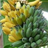 Plants Guru Banana Musa Velutina