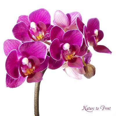Lila Orchidee auf Kissen mit Füllung im Format 40 cm x 40 cm online kaufen