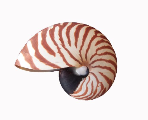 muschel nautilus pompilius poliert ca 15 cm dekomuschel g nstige tanzschuhe in greifswald und. Black Bedroom Furniture Sets. Home Design Ideas