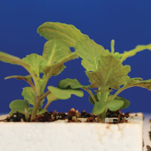 brassica rapa fast plants lab Abstract: in this 3-week laboratory, students investigate the effects of an abiotic or biotic ecological factor on the growth or reproduction of rapid-cycling brassica (brassica rapa l: wisconsin fast plants) seedlings in the field.