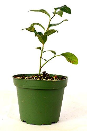 Toro Blueberry Plant - 4