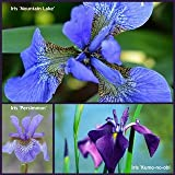 Iris Perennial Plants - 3 varieties