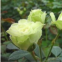 120 Real Fresh Spray Rose, Luviana