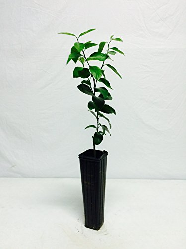 1-2-foot-persian-lime-tree-not-available-in-az-ca-fl-tx