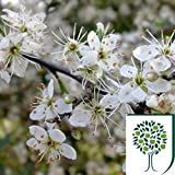 Blackthorn (Prunus spinosa) 40/60cms Bare Root 2yr old (1+1) pack of 25
