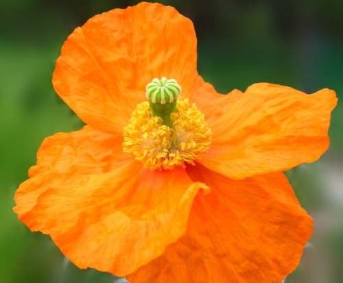 100 Poppy Flower Seeds Everblooming Atlanticum Poppies