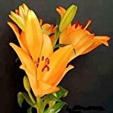 LILIUM AMABILE pretty and rare 50 seeds