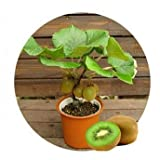 (Kiwi Za#008) Thailand Mini Kiwi Fruit 1pcs/lot(100 Seeds) Bonsai Plants, Delicious Kiwi Small Fruit Trees Seed