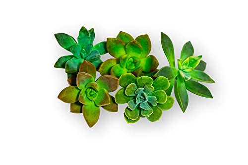 Fat Plants San Diego Five Rosette Succulent Cuttings