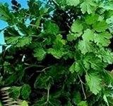 Suffolk Herbs - Coriander