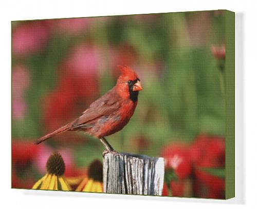 canvas-print-of-northern-cardinal-cardinalis-cardinalis-male-on-fence-post-near-flower-garden