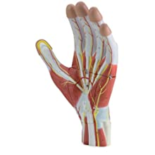 Altay Scientific Human Hand Model, 3 Parts, 5 x 40 x 27cm Size