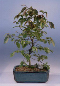 Buy Rock Hornbeam Bonsai Tree.(carpinus turczaninovii)