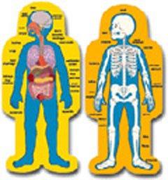 HUMAN BODY ORGANS DIAGRAM  ORGANS DIAGRAMHuman Body Diagram For Kids