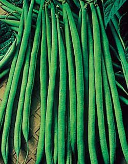 Bean Maxibel - Park Seed Bean Seeds - Buy Bean Maxibel - Park Seed Bean Seeds - Purchase Bean Maxibel - Park Seed Bean Seeds (Park Seed, Home & Garden,Categories,Patio Lawn & Garden,Plants & Planting,Outdoor Plants,by Moisture Needs,Regular Watering)