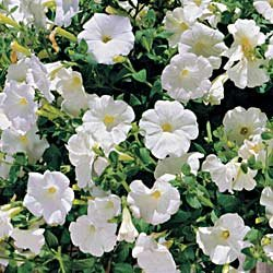 Petunia Avalanche White Hybrid - Park Seed Petunia Seeds - Buy Petunia Avalanche White Hybrid - Park Seed Petunia Seeds - Purchase Petunia Avalanche White Hybrid - Park Seed Petunia Seeds (Park Seed, Home & Garden,Categories,Patio Lawn & Garden,Plants & Planting,Outdoor Plants,by Moisture Needs,Regular Watering)