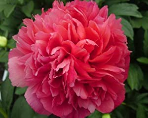 Lorelei Peony Flower Seeds 30 Seed Pack Easy Grow
