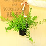 希少・観葉植物:エスキナンサス ヒューミリス*吊り鉢