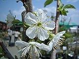 梨 豊水 1年生 接ぎ木 苗 果樹苗木 果樹苗 なし