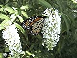 50 WHITE BUTTERFLY BUSH Buddleia Davidii Flower Shrub Seeds
