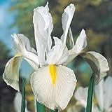 Dutch Iris Bulbs Excelsior