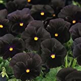 Flower Seeds Black Pansy Hybrid Seeds Flower Seeds For Home Garden-100 Seeds By Creative Farmer