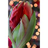 Christmas Blooming Amaryllis Flower Bulbs - Red and White - 2 bulbs ~ It's An Amaryllis!