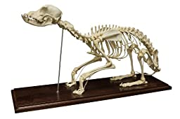 Dog Skeleton (Natural Bone Economy)