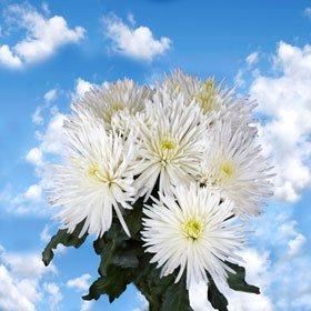 Pom Poms White Fuji Spider 50 Flowers
