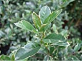 Pyracantha Mohave Silver or Firethorn Shrub