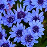 Outsidepride Blue Daisy – 1000 Seeds