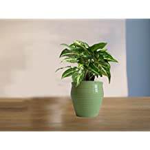 Rolling Nature Good Luck Green Syngonium Plant (Green Or Light Green Or Yellow) Iris Ceramic Pot