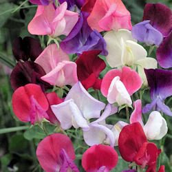 60 Mixed Colors SWEET PEA ROYAL FAMILY MIX Lathyrys Odoratus Flower