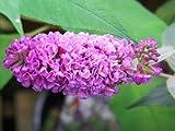 Buddleja Blue Chip or Butterfly Bush Shrub