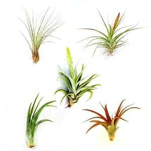 Wholesale air plants one dozen classic for Classic house plants