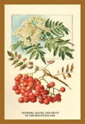 Paper poster printed on 20 x 30 stock. Flowers, Leaves, and Fruit Of The Mountian Ash.