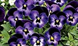 Viola Denim bedding plants in polystyrene pack x 12. NOT PLUGS