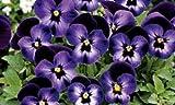 Viola Denim bedding plants in polystyrene pack x 12. NOT PLUGS